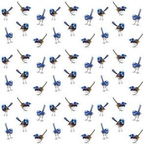 Blue Wrens // mini