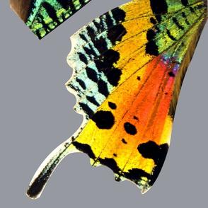 Oversized Sunset Moth