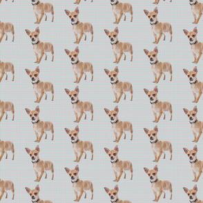 Short Hair Chihuahua