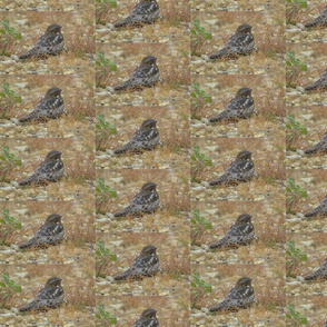 Common Nighthawk Bird