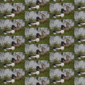 Northern Shoveler Duck Male Female