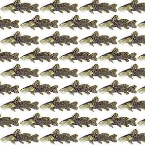 African Giraffe Bubu Catfish