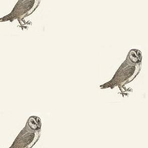 Bewick's Barn Owl