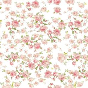 Saint Colette June Roses peony on white resized