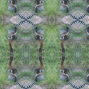 Ring-tailed Lemur1