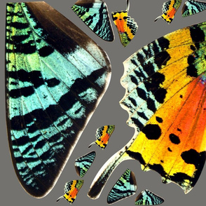 Rainbow Sunset Moth Wings