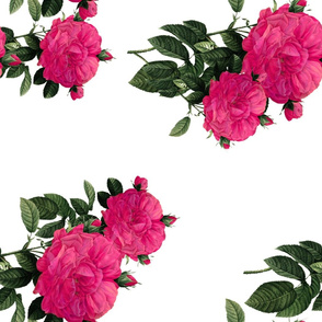 Redoute Rose ~ Hot Pink ~ Rotated