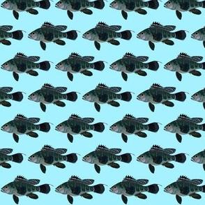 Black Sea Bass blue background