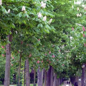 Chestnuts Trees, Paris