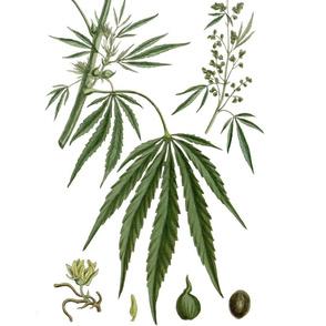 Vintage Cannabis Illustrations