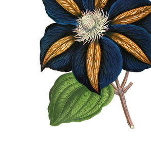 Star of India Clematis