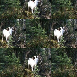 Bucky the White Wether Goat