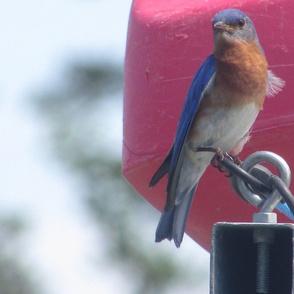 Bluebird__2_