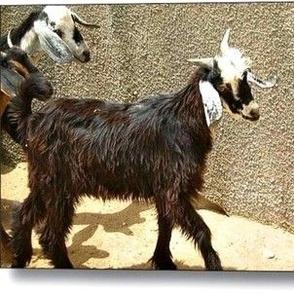 Get My Goat