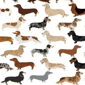 smooth wire haired long haired dachshunds dogs pets