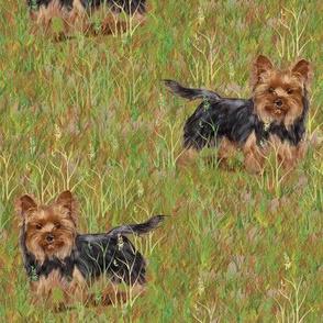 Yorkshire Terrier in Grassy Field