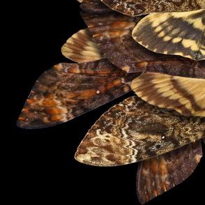 Death's Head Moths