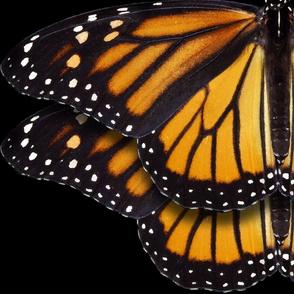 Monarch Butterflies 2