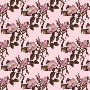 Charlotte Bronte's Wild Roses