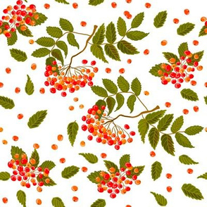 Rowan berry on white background