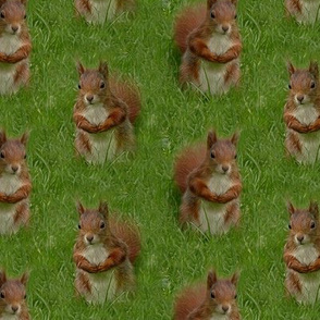 red squirrels in the grass  - large