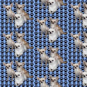 chihuahuas_on_blue