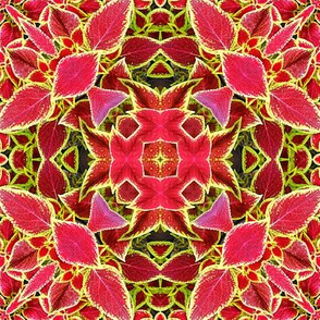 Red and Green Coleus Leaves Abstract