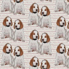 fox hound puppies