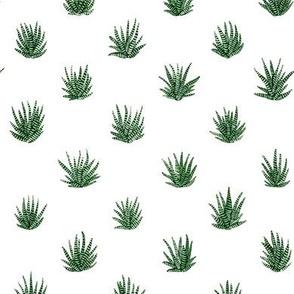 Haworthia Succulents
