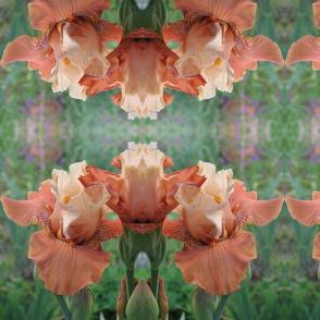 Iris 'Mandarin Morning' original