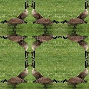 Chicago_geese_3