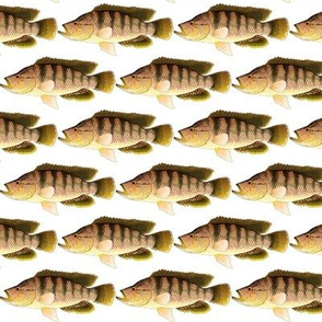 African Thinface Cichlid
