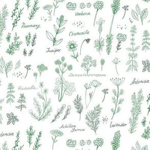 Aromatic  herbs - lavender, achillea, dill, basil, sanicula
