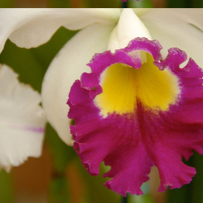 Orchid II