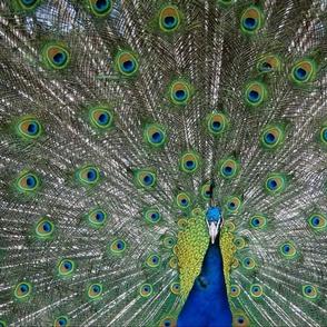 peacock xxl