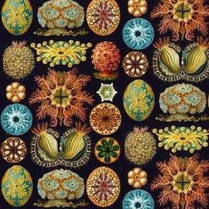 Ernst Haeckel Ascidiaecea Sea Squirts