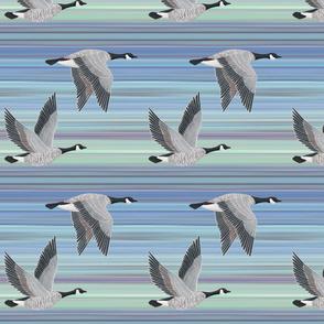 Canada Geese on aqua blue