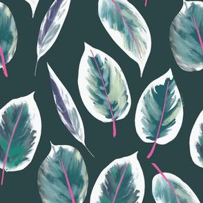 Rubber plant, rubber tree, ficus elastica Ruby