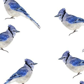 Bluejays - White Background
