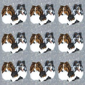 Shetland sheepdog portraits
