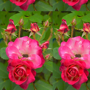 Rose of Hippy Mirrored
