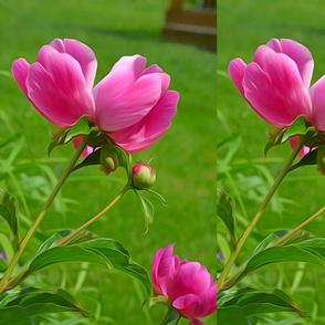 Asian Pink Peoni Flower