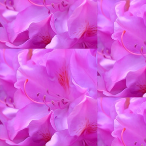 Orcpink Rhododendron Flower