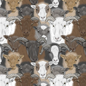 Shetland Sheep herd faces - medium
