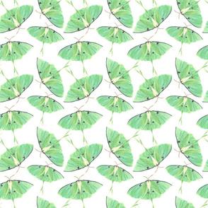 Luna Moths Abound