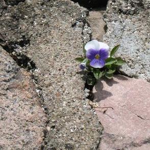 IMG_2503  Violet Wonder