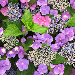 Hydrangea Painted Pinks and Purple
