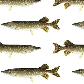 northern pike on white