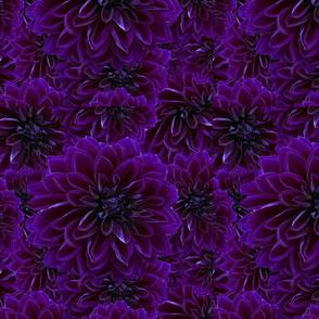 Violet Mums