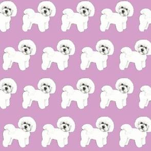 Bichon Frise dog // lilac